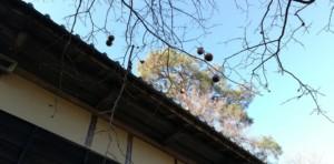 諸橋轍次生家前の柿の木